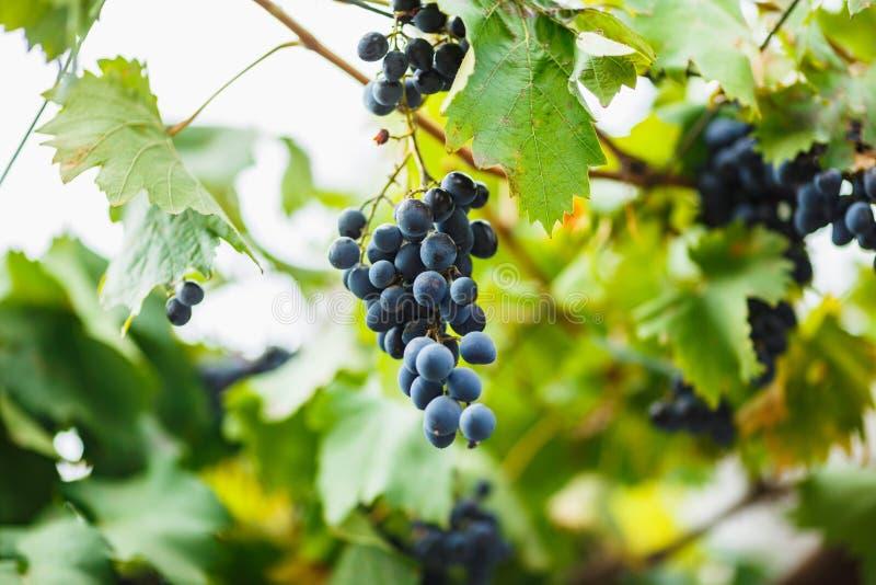Obscuridade madura deliciosa - uvas azuis em Bush A colheita na adega imagens de stock royalty free