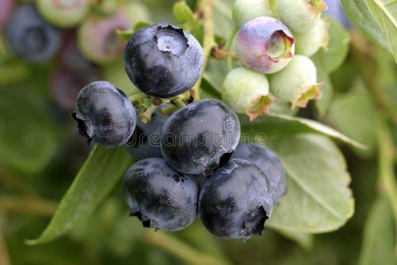 Obscuridade natural - macro azul da uva-do-monte foto de stock royalty free