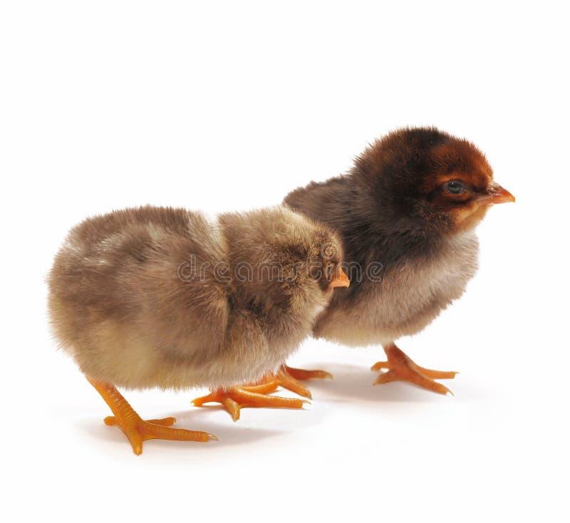 obscurité deux de poulets images stock
