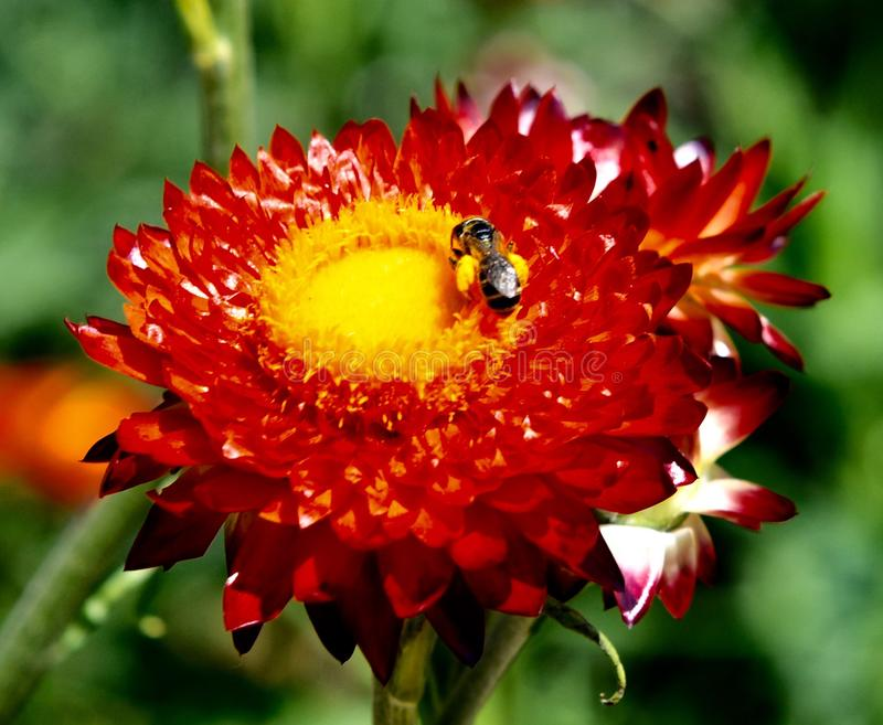 Obscurité Rose Strawflower de Mohave photographie stock