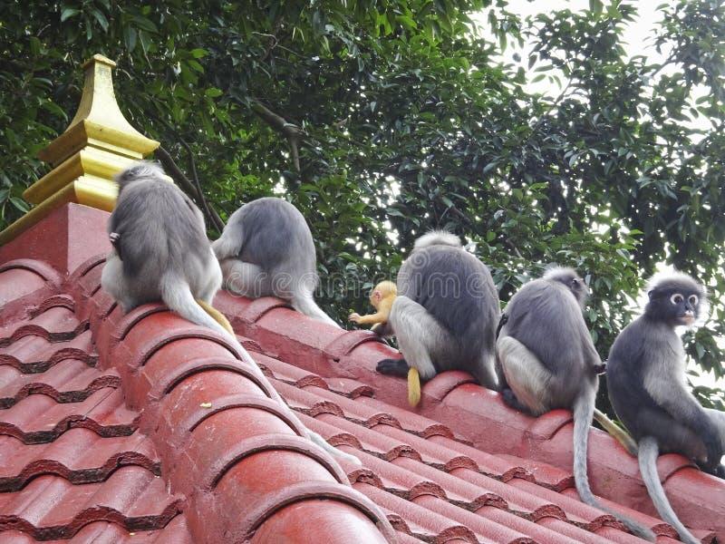Obscurus con gafas de Trachypithecus del langur de los monos lindos divertidos en el parque nacional que se sienta en el tejado d fotografía de archivo libre de regalías
