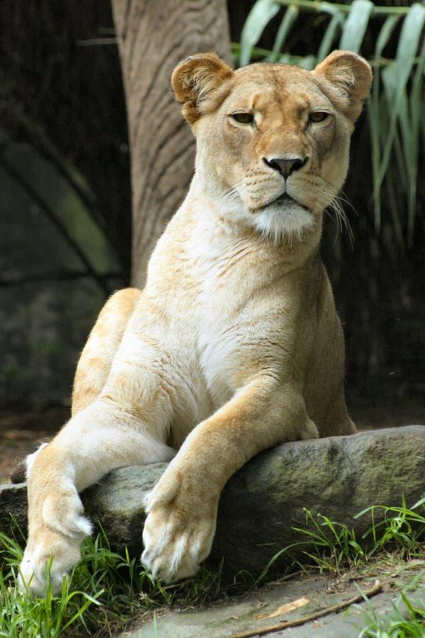 Observação do leão fotos de stock