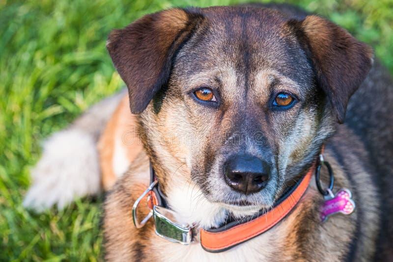 Observação misturada marrom bonita do cão da raça fotos de stock royalty free