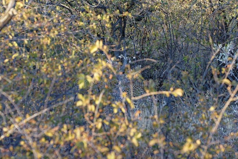 Observação típica de um leopardo africano indescritível e camoflouaged que desaparece no arbusto na reserva natural de Okonjima,  fotos de stock royalty free