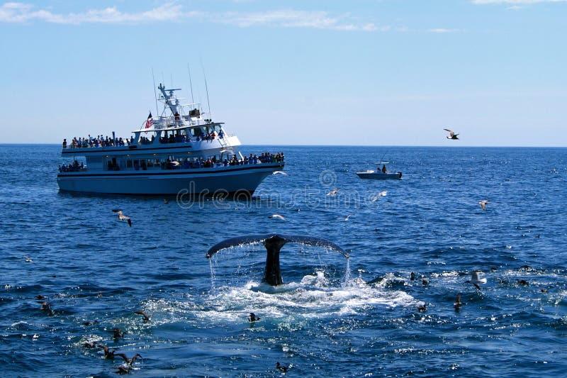 Observación de la ballena fotografía de archivo libre de regalías