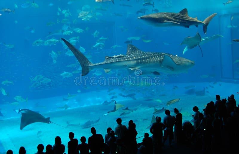 Observación de los tiburones de ballena foto de archivo libre de regalías
