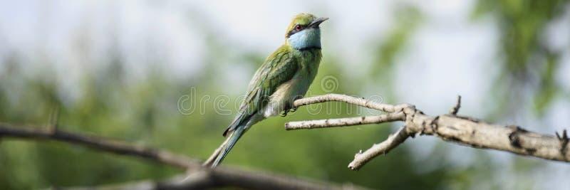 Observación de pájaros verde del abeja-comedor sobre el bosque fotos de archivo