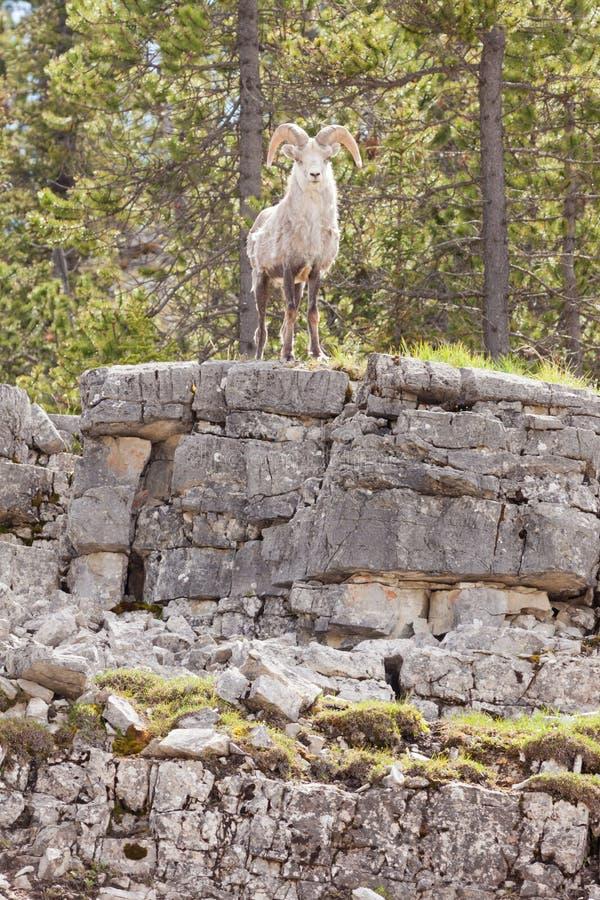 Observación de piedra del stonei del dalli del Ovis del espolón de las ovejas foto de archivo libre de regalías