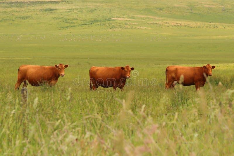 Observación de tres vacas imagenes de archivo