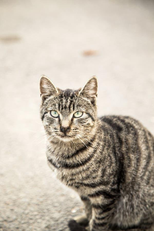 Observación gris del gato fotos de archivo