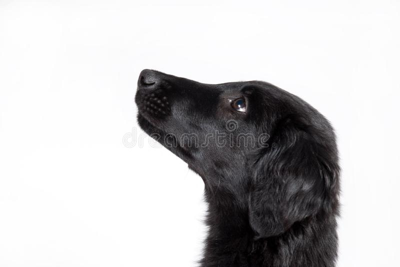 Observant Black Puppy Royalty Free Stock Image