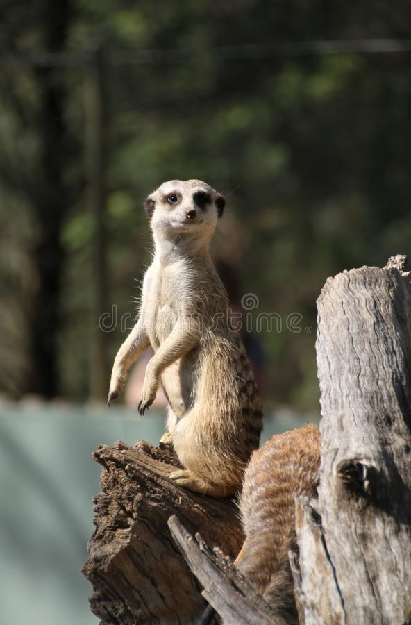 Observateur de Meercat photographie stock libre de droits