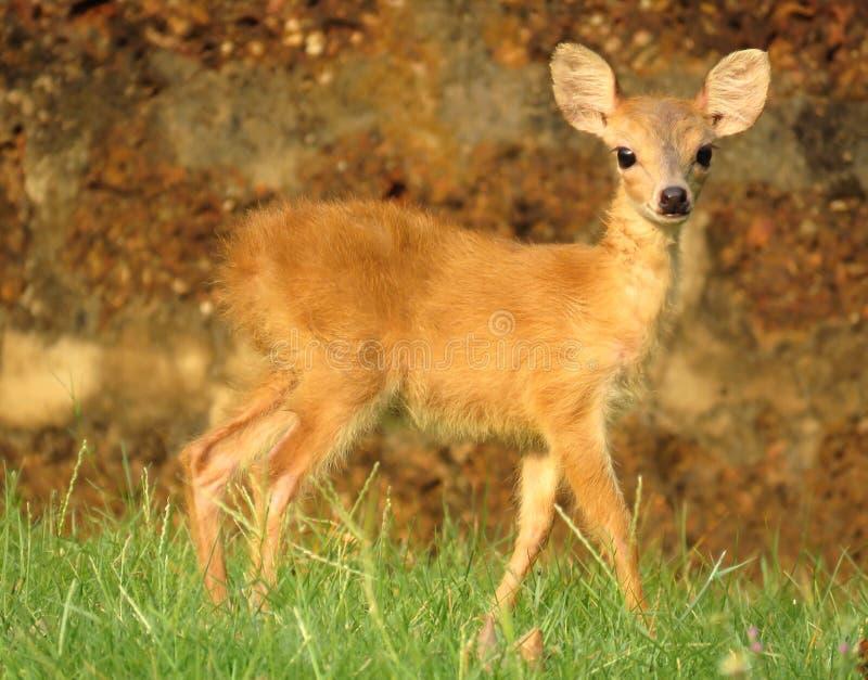 Observation à cornes de l'antilope quatre image libre de droits