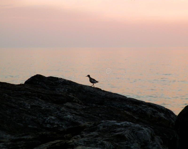Observation d'oiseau soloe le lever de soleil image stock