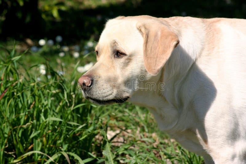 Observation de chien de Labrador photos libres de droits