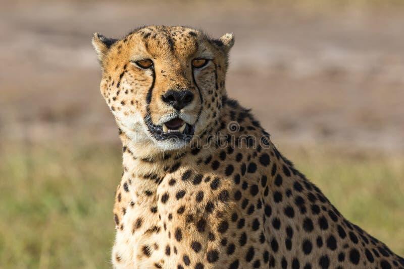Observation de guépard photos libres de droits