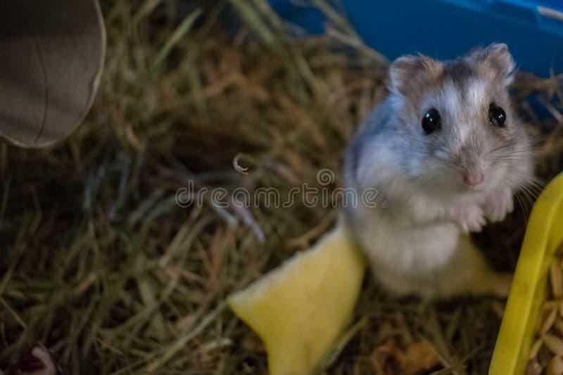 observation de hamster images libres de droits