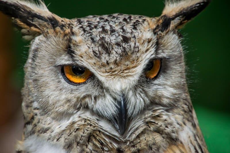 Observation haute étroite de hibou photos libres de droits