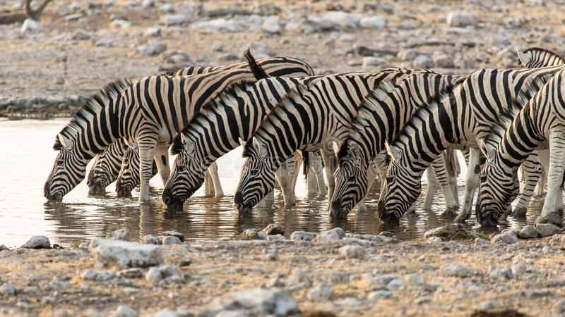 A herd of zebras quench their thirst at the Namutoni water point in Etosha National Park. Observation of zebras drinking at the Namutoni water hole. These zebras royalty free stock photo