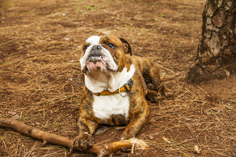 Download Observe stock image. Image of bulldog, outdoor, legs - 29543779