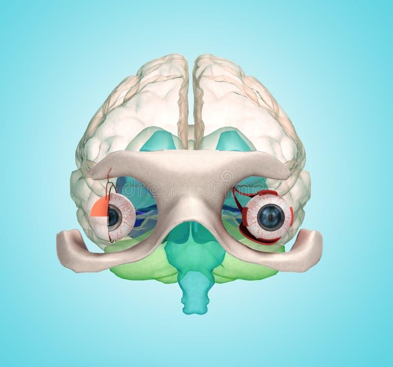 Observe la anatomía y estructura, los músculos, los nervios y los vasos sanguíneos de stock de ilustración