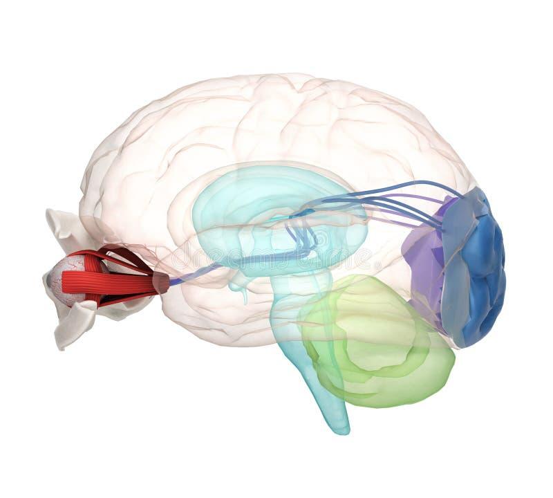Observez l'anatomie et la structure, les muscles, les nerfs et les vaisseaux sanguins illustration libre de droits