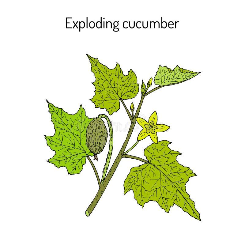 Obsikujący ogórkowego Ecballium elaterium lub wybuchający, lecznicza roślina ilustracja wektor