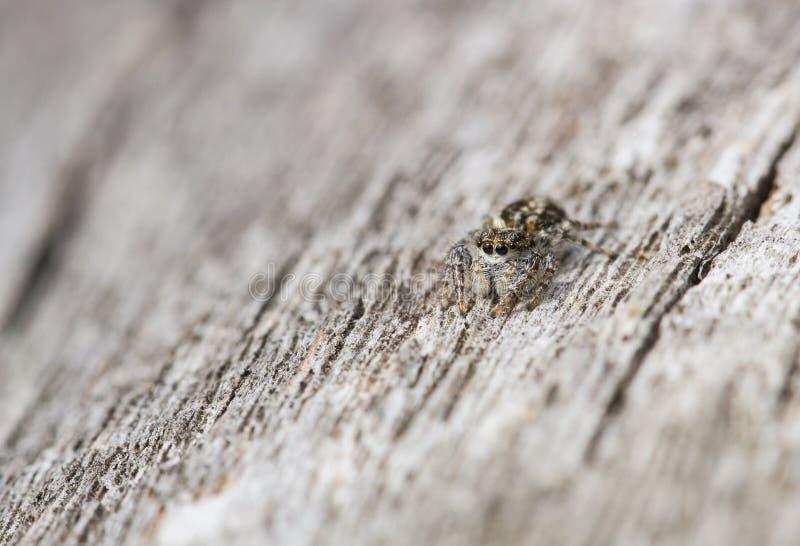 Obsoleta de salto de Pseudeophrys de la araña en República Checa foto de archivo