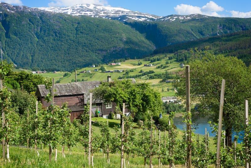 Obstbäume auf den Hügeln um den Fjord von Hardanger, Norwegen lizenzfreies stockbild