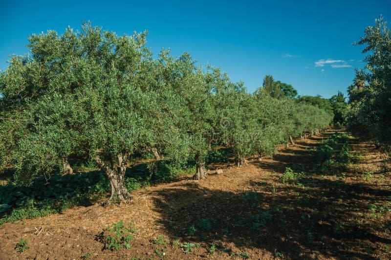 Obstgarten mit Olivenbäumen in einem Bauernhof stockbilder