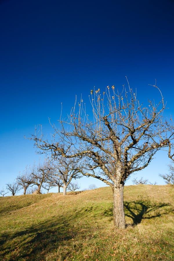 Obstgarten nach Ernte stockfotografie