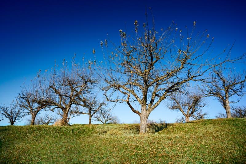 Obstgarten nach Ernte lizenzfreies stockfoto