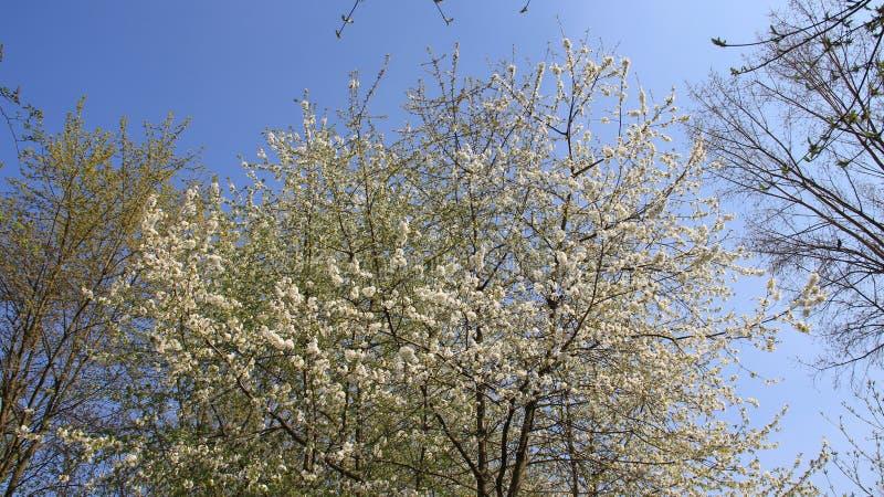 Obstgarten und blühender blühender weißer Cherry In Spring Time lizenzfreie stockfotografie