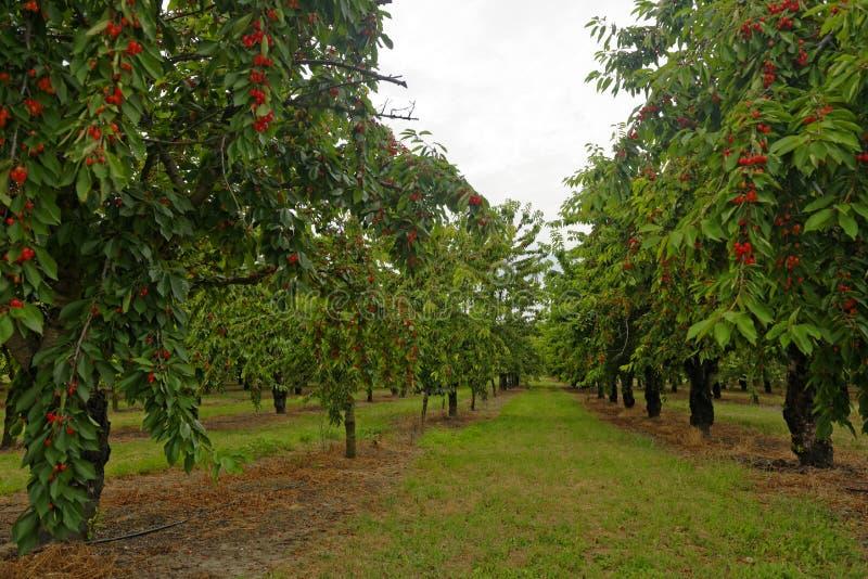 Obstgarten von Kirschbäumen lizenzfreies stockbild
