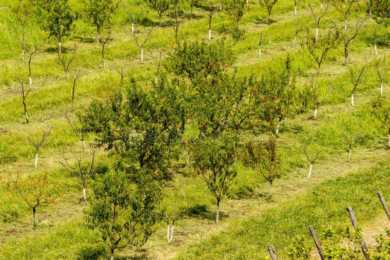 Obstgartenbäume stockfoto