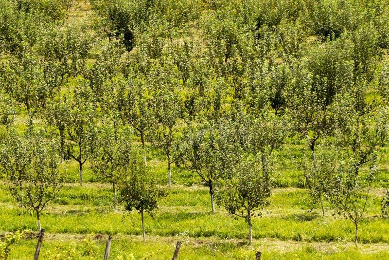 Obstgartenbäume lizenzfreie stockfotos