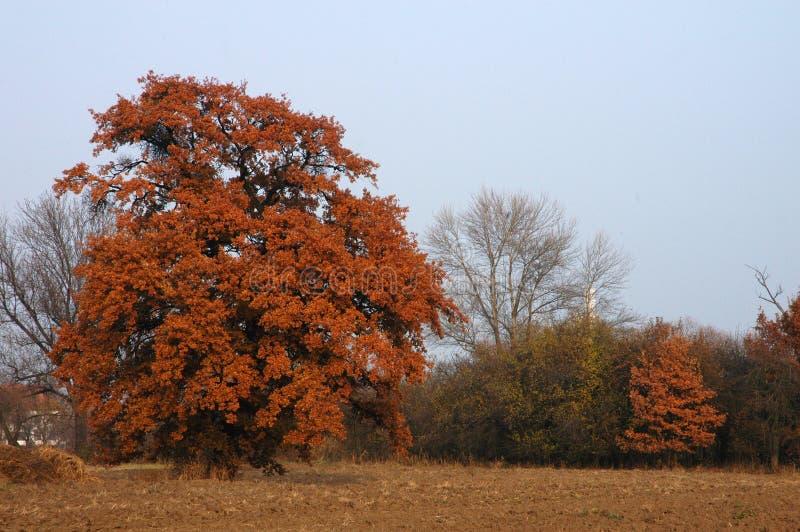 obszarów wiejskich jesiennej drzewa obrazy royalty free