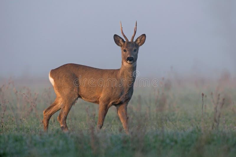 obszar charakteru roe rosyjskiego jeleni voronezh zdjęcie stock