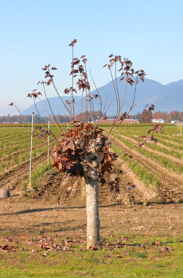 Obszernie Przycinający brzozy drzewo obrazy stock