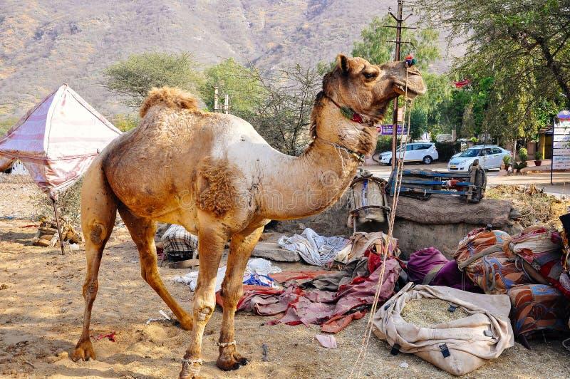 Obtenant un chameau prêt dans Pushkar, Inde photo libre de droits