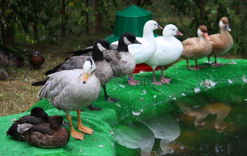 Obtenez tous vos canards dans une rangée photo libre de droits