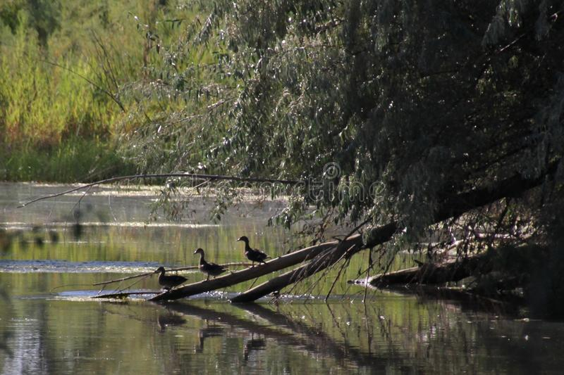 Obtenez vos canards dans une ligne photographie stock libre de droits