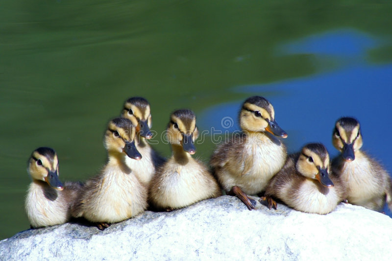 Obtenez vos canards dans une ligne photos stock