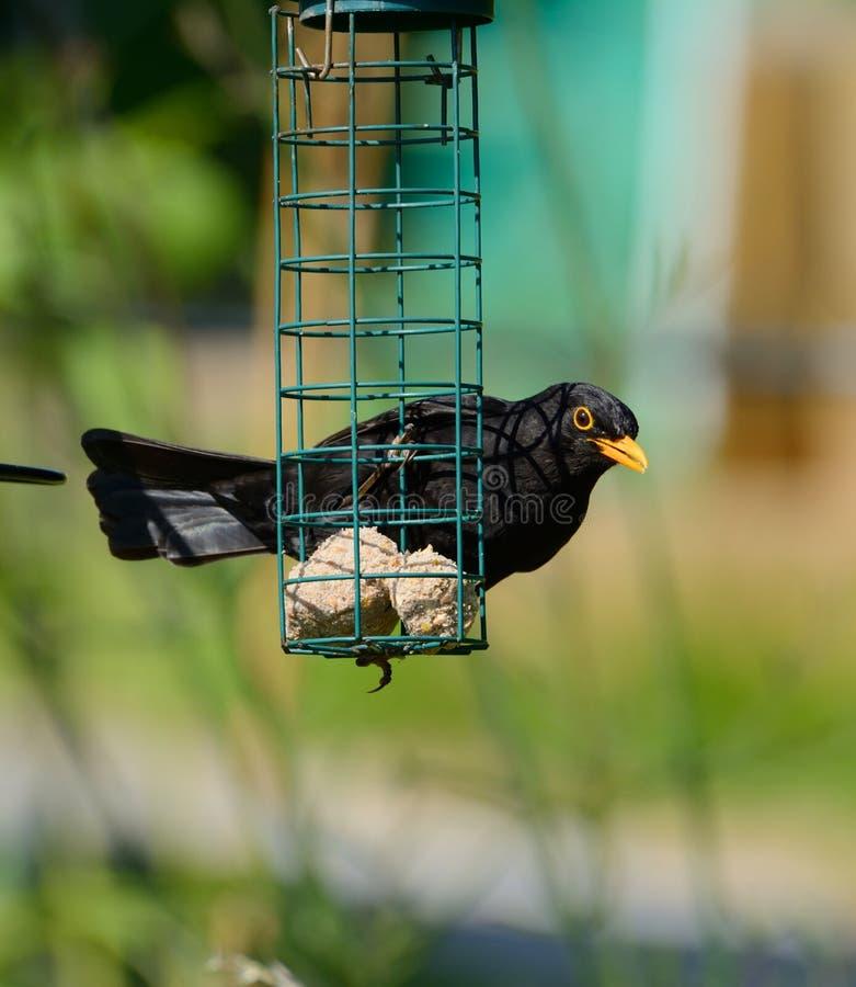 Obtido mais? Melro que olha de um alimentador quase vazio do pássaro imagens de stock