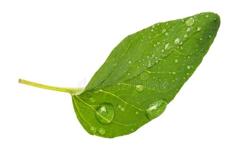 Obvers groen en vers blad van oregokruid Met micro- dalingen van water royalty-vrije stock afbeelding