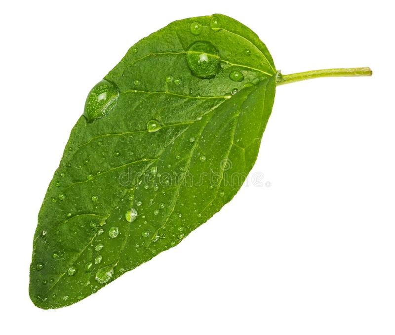 Obverse green and fresh leaf of oregano spice. With micro drops of water. stock image