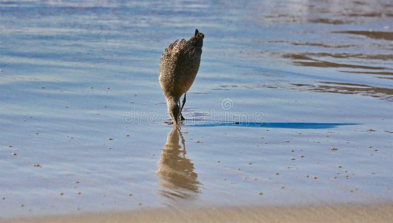 Océan d'oiseau de pluvier images stock