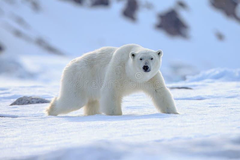 Océan du nord du Spitzberg de maritimus d'Ursus d'ours blanc image stock