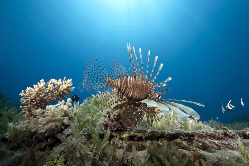 Océan et lionfish image libre de droits