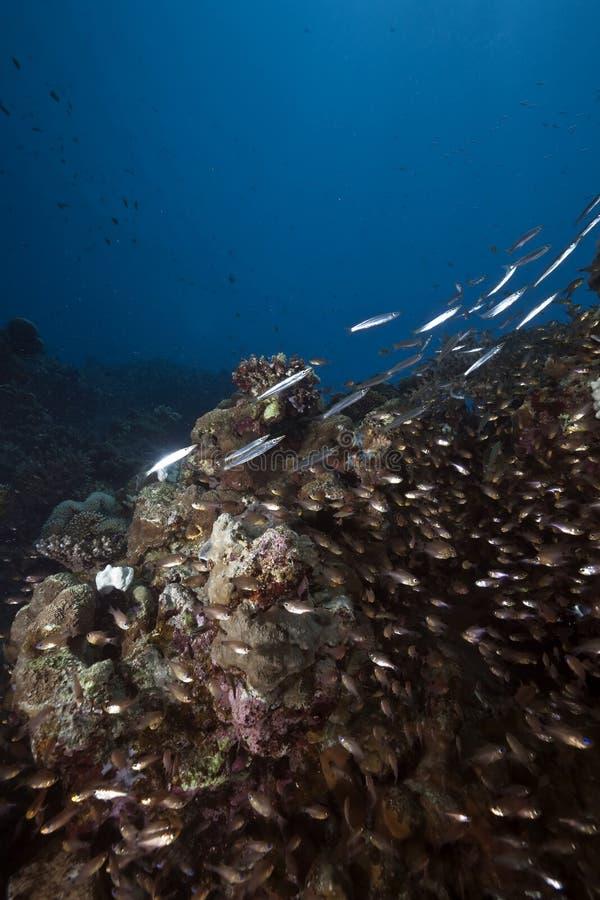 Océan, glassfish et barracudas image libre de droits
